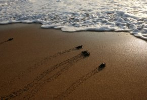 [WORLD] The Last Clean, Dark Beach in Lebanon: The Life Of Sea Turtles