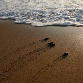 [WORLD] The Last Clean, Dark Beach in Lebanon: The Life Of SeaTurtles